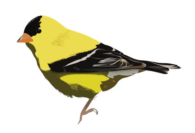 vector illustration of a gold finch